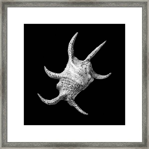 Spider Conch Seashell Framed Print