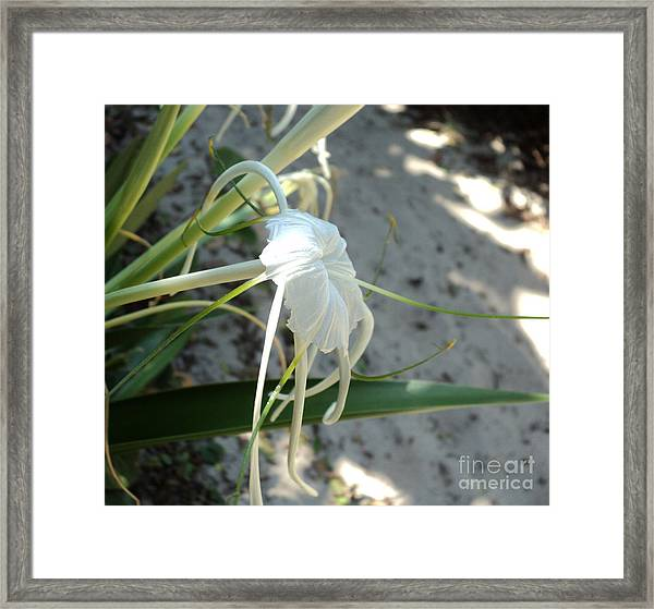 Spider Lily2 Framed Print