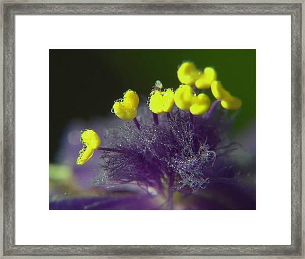 Spiderwort Bubbles Framed Print