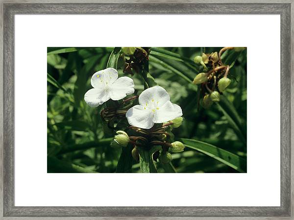 Spiderwort 'pauline' Framed Print by Sally Mccrae Kuyper/science Photo Library
