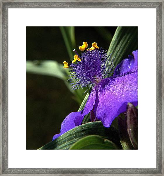 Spiderwort Shadows Framed Print