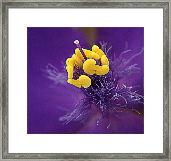 Spiderwort Softness Framed Print