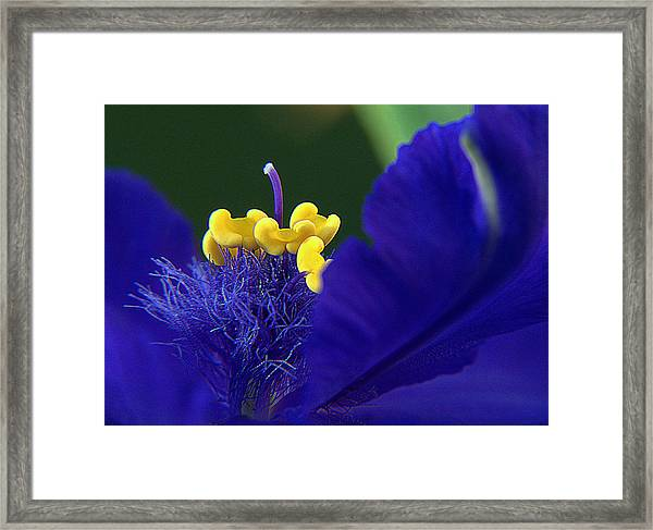 Spiderwort Up Close Framed Print
