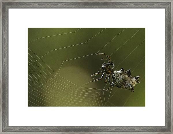 Spiny Backed Orb Weaver Framed Print