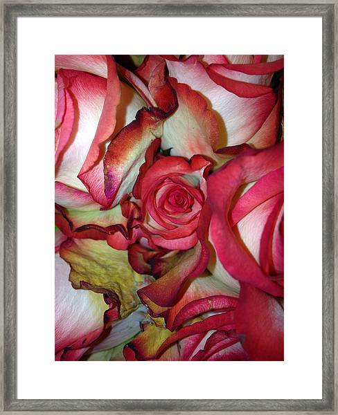 Spirited Rose  Framed Print