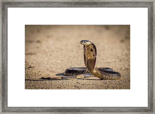 Spitting Cobra In Strike Pose. Framed Print
