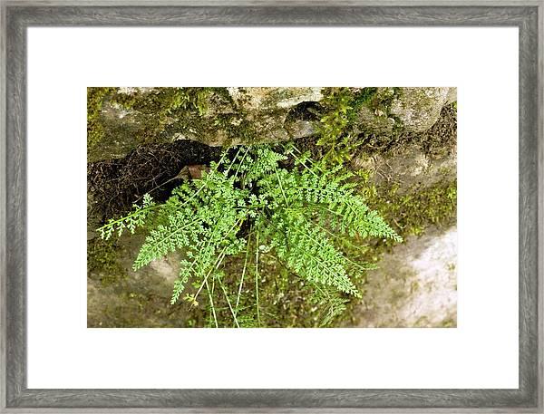 Spleenwort (asplenium Fontanum) Framed Print
