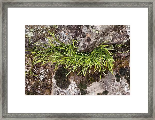 Spleenwort (asplenium Septentrionale) Framed Print
