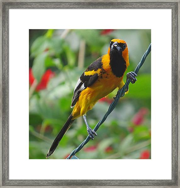 Spot Breasted Oriole Framed Print