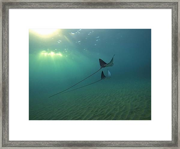Spotted Eagle Rays During Sunset Framed Print