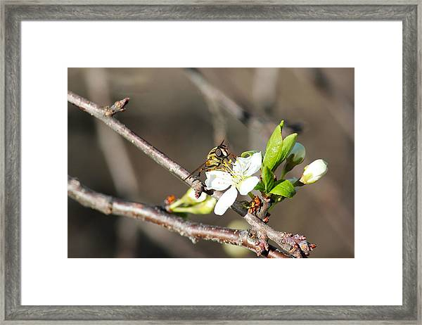 Spring Bee On Apple Tree Blossom Framed Print