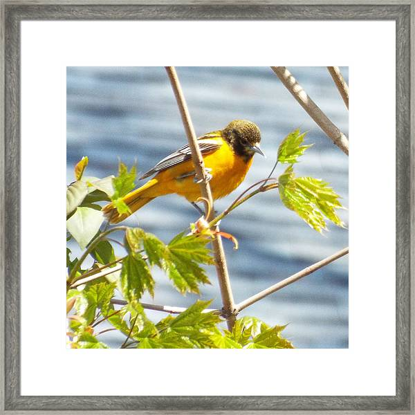Spring Bird  Framed Print by Lisa Roy