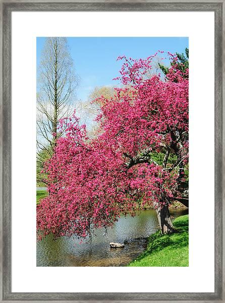 Spring Crabapple Framed Print