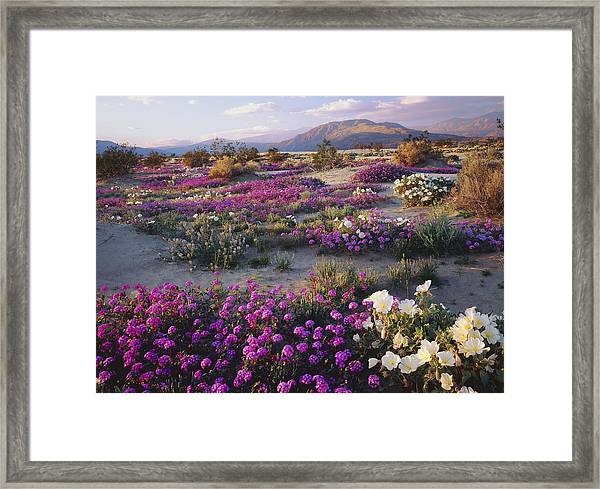 Spring Flowers Carpet Anza Borrego State Park Framed Print by Ron and Patty Thomas
