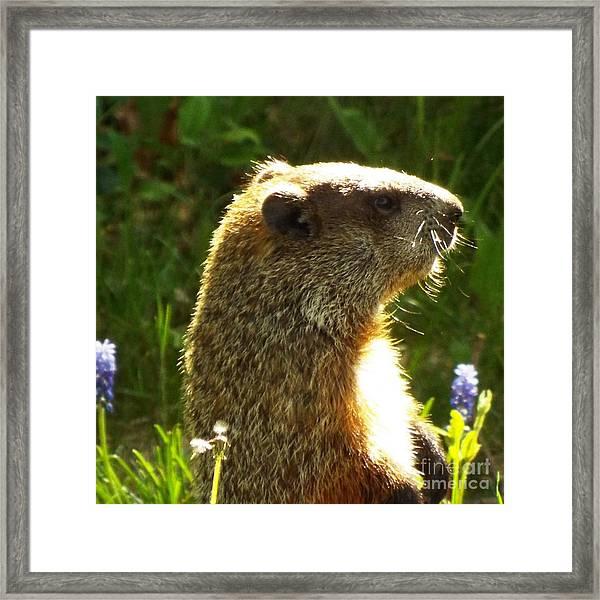 Spring Groundhog  Framed Print by Lisa Roy
