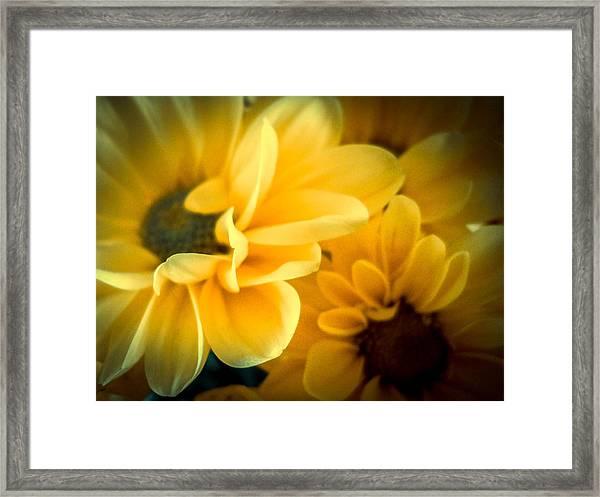 Spring Mums Framed Print