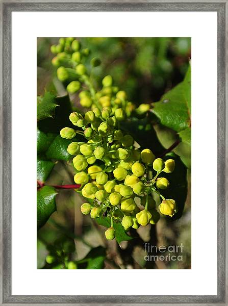 Spring Oregon Grape Framed Print