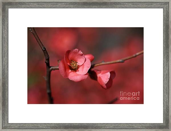 Spring Richness - Flowering Quince Framed Print