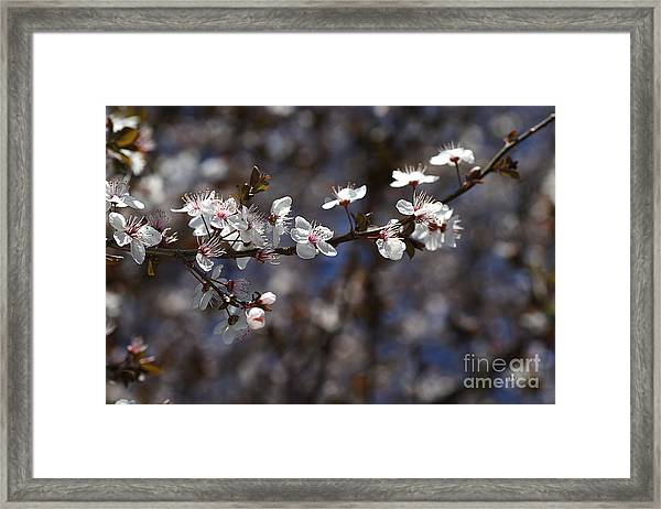 Spring White Blossom Framed Print