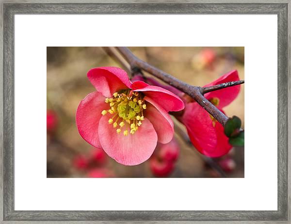 Springtime Quince Framed Print
