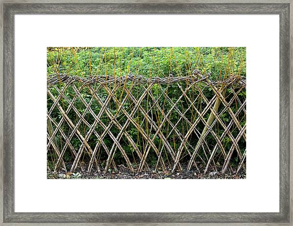 Sprouting Willow Fence Framed Print by Bob Gibbons