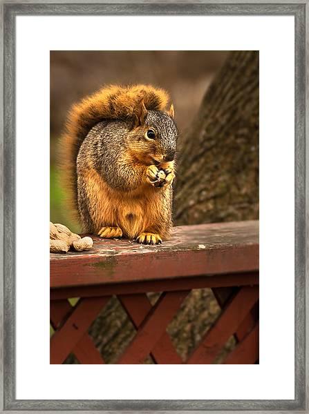 Squirrel Eating A Peanut Framed Print