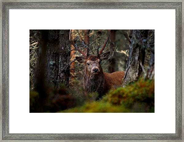 Stag In The Woods Framed Print