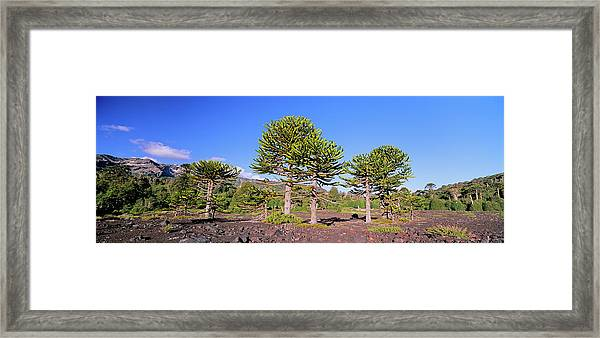 Stand Of Monkey Puzzle Trees (araucaria Framed Print by Martin Zwick