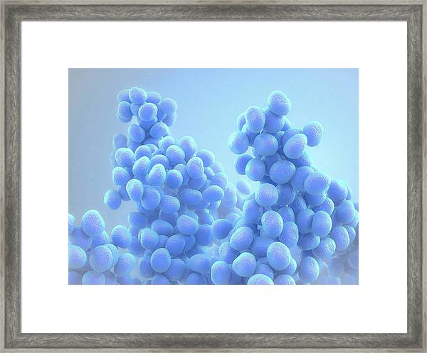 Staphylococcus Bacteria Framed Print