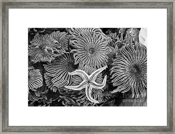 Starfish 3 Framed Print