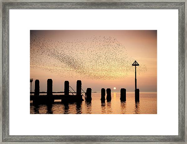 Starlings At Sunset  Aberystwyth Framed Print