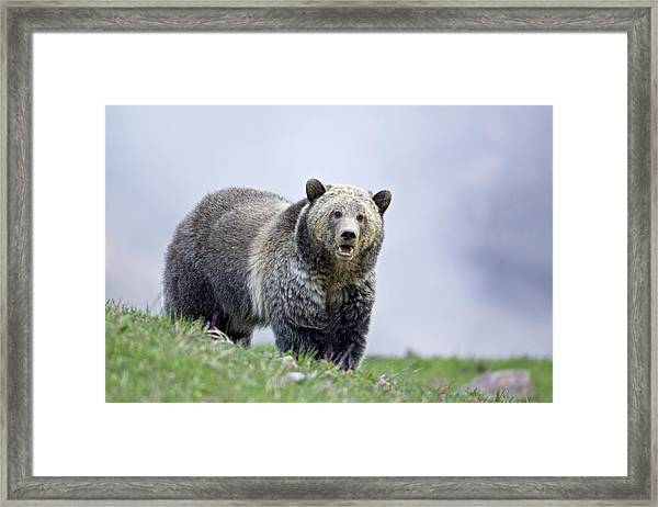 Steamboat Grizzly Framed Print