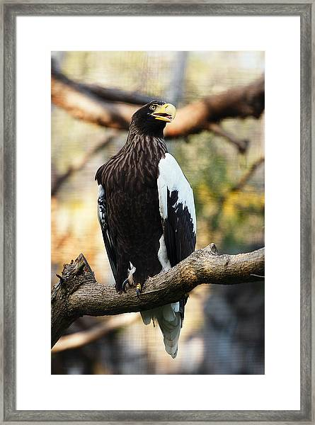 Steller's Sea Eagle Framed Print