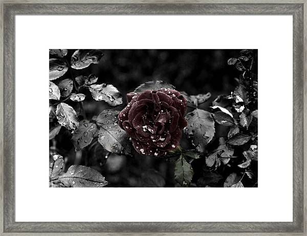 ...still A Rose Framed Print