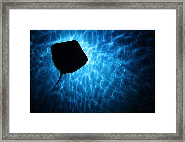 Stingray Silhouette Framed Print