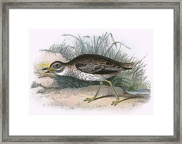 Stone Curlew Framed Print