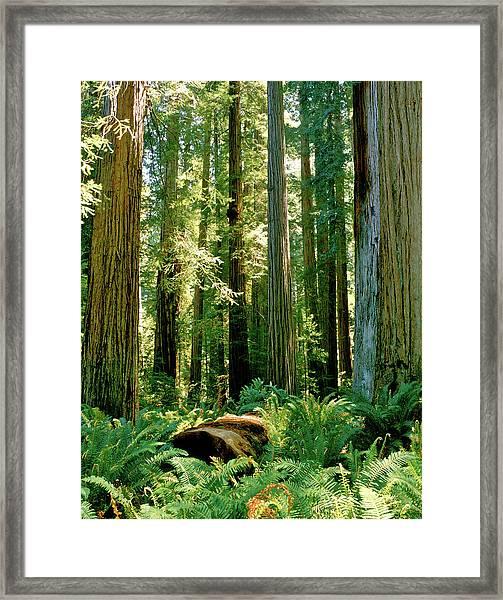Stout Grove Coastal Redwoods Framed Print