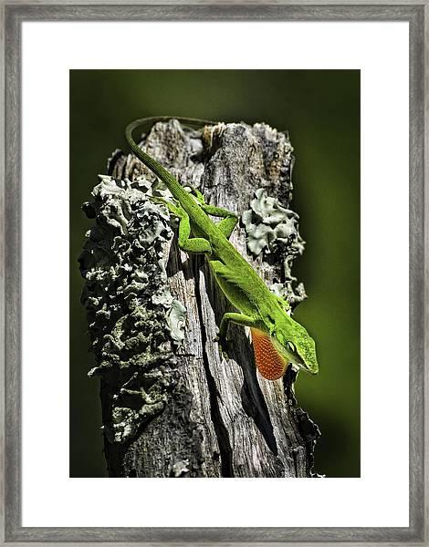 Stressed Anole Framed Print