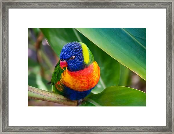 Striking Rainbow Lorakeet Framed Print