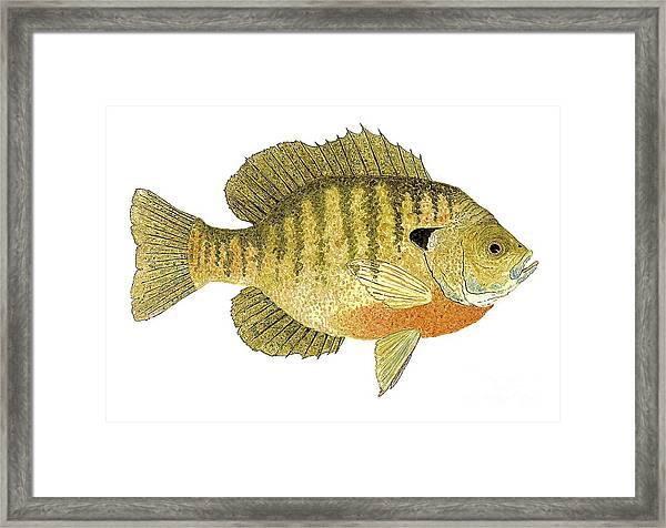 Study Of A Bluegill Sunfish Framed Print