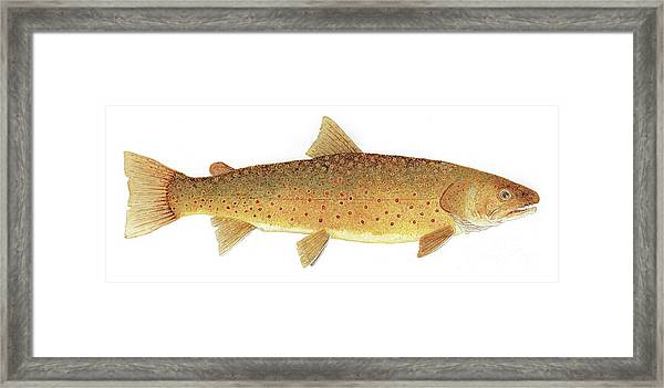 Study Of A Bull Trout Framed Print
