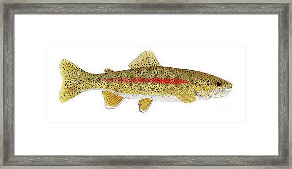 Study Of A Columbia River Erdband Trout Framed Print
