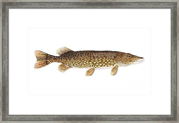 Study Of A Northern Pike Framed Print