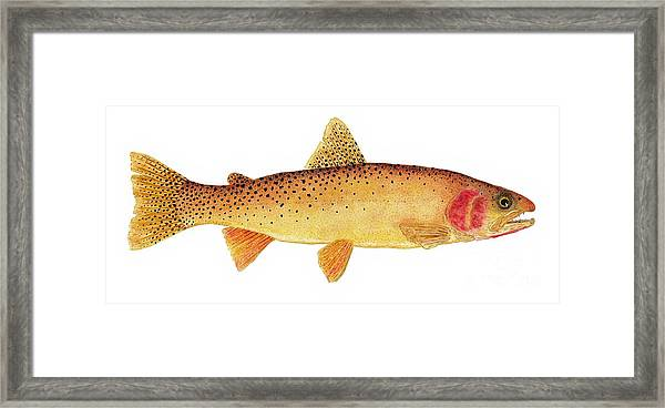 Study Of A Yellowstone Cutthroat Trout Framed Print