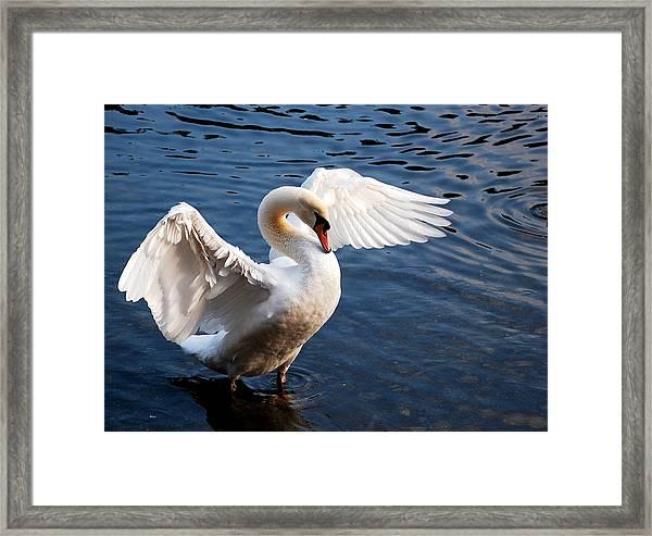 Stunning Swan Framed Print