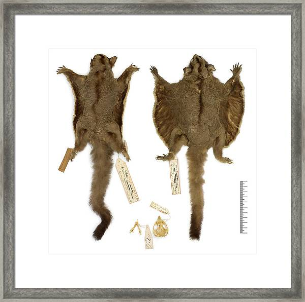 Sugar Glider Specimens Framed Print