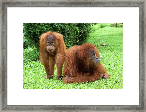 Sumatran Orangutans Framed Print