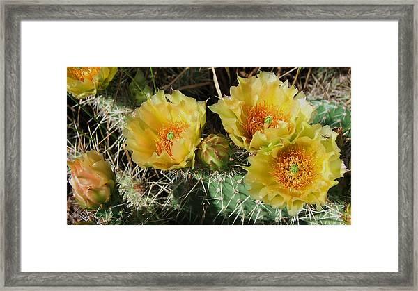 Summer Cactus Blooms Framed Print