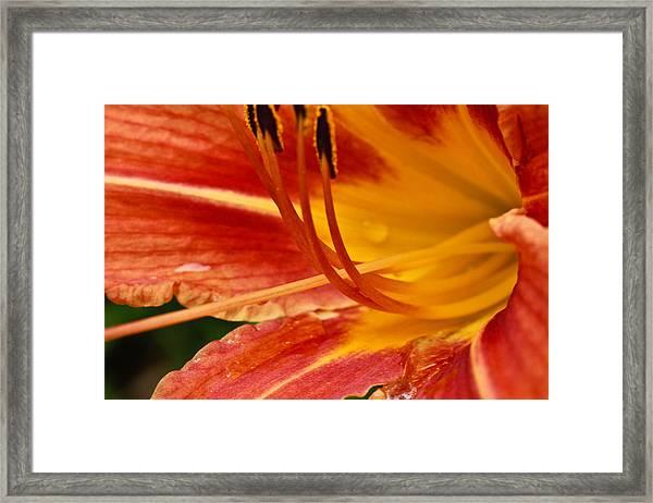 Summer Daylily Framed Print