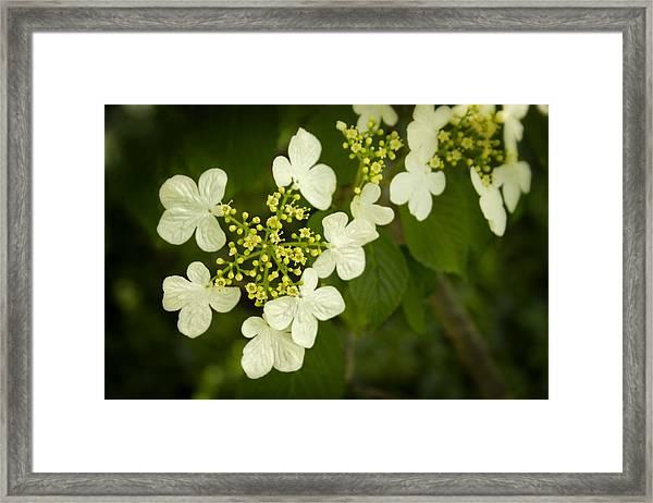 Summer Snowflakes Viburnum  Framed Print